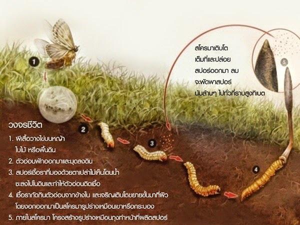 ถั่งเช่า (Chong Cao),ถั่งเช่ากิฟฟารีน, ถุงลมโป่งพอง, ทำลายเซลล์มะเร็ง, บำรุงปอด, รักษาตับอักเสบ, ลดไขมัน, ลดไขมันในเลือด, วัณโรค, หญ้าหนอน, เพิ่มสมรรถภาพทางเพศ, เพิ่มสมรรถภาพเพศชาย, โคเลสเตอรอลสูง, ไขมันในเลือดสูง,ถั่งเช่า