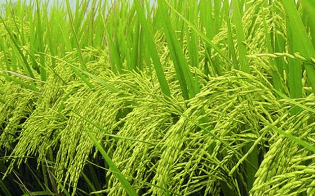 ปุ๋ย กิฟฟารีน กับนาข้าว เกษตรยุคใหม่ ลดต้นทุนเพิ่มผลผลิต