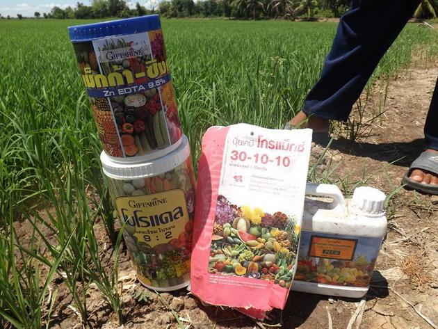 ย กิฟฟารีน กับนาข้าว เกษตรยุคใหม่ ลดต้นทุนเพิ่มผลผลิต